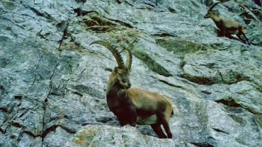 IFMGA, Capra Ibex, Photo by Armin Oehrli